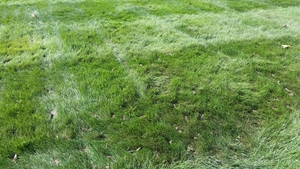 this is a photo of an aeration on a lawn in westfield ma, new england lawn care