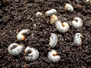 a photo of grubs in soil, grub control, western ma, westfield ma