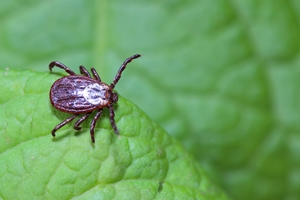 a photo of a tick on a leaf, tick prevention, western ma, new england lawn care