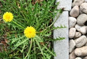 this is a photo of a dandelion, weed control western ma, new england lawn care